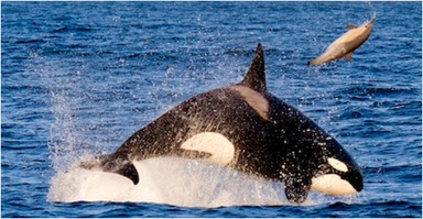 Orca attacks Dolphin