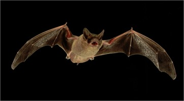 Mexican free-tailed bat (Tadarida brasiliensis)